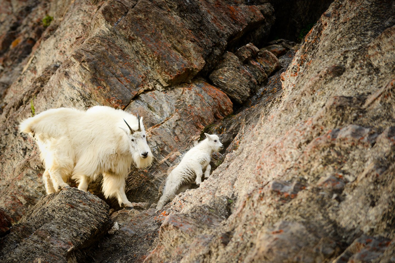Mountain goat - Jeff Bartlett
